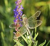 Dragonfly närbild — Stockfoto