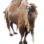 Постер, плакат: Camel bactrian