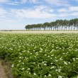 Foto Stock: Blooming potato field in Netherlands