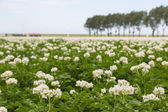 Blooming potato field in the Netherlands — Stock Photo
