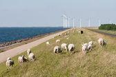 Ovce, moře a opravené windturbines v nizozemsku — Stock fotografie