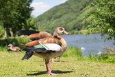 Ducks on the grass along the riverside — Stock Photo