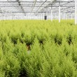 Stock Photo: Dutch horticulture with cypresses in greenhouse