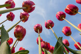 Beautiful red tulips looking to the blue sky — Stock Photo