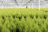 Dutch horticulture with cypresses in a greenhouse — Stock Photo