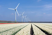 Dutch wind turbines behind a field of white tulips — Stock Photo