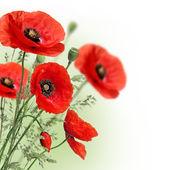 Frontera de flores de amapolas — Foto de Stock
