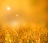 Glowing sunset over wheatfield — Stock Photo