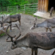 Reindeer in Skansen park — Stock Photo