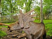 Swedish elk — Stock Photo