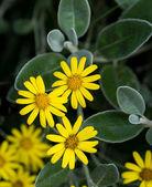 黄色のヒナギク — ストック写真