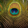 Peacock feathers background — Stock Photo #11602012