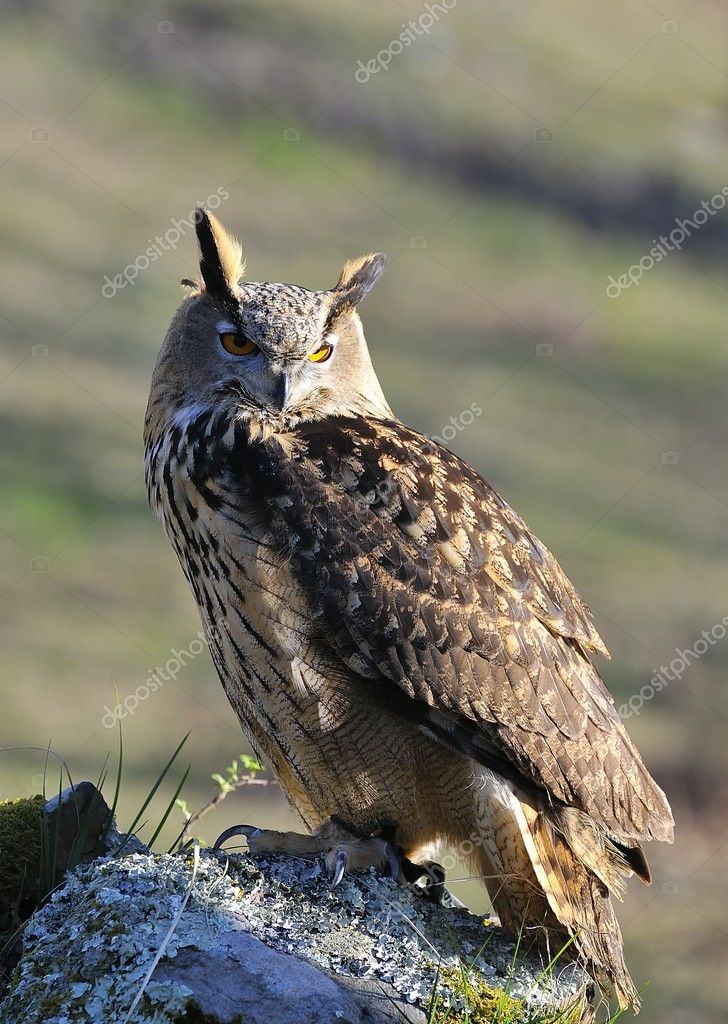 Euroasian eagle owl. — Stock Photo #10741159