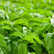 Basil plants - Stock Photo