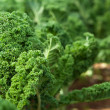 Kale in garden — Stock Photo