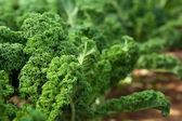 Kale in garden — Stock Photo