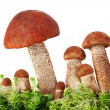 Стоковое фото: Mushrooms in moss on white background