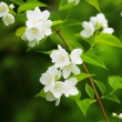 Beautiful blossoming branch of jasmine — Zdjęcie stockowe