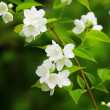 Beautiful blossoming branch of jasmine - Stock Photo