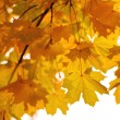 Branches of yellow autumn leaves — Foto Stock