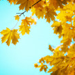 Branches of yellow autumn leaves — Stok fotoğraf