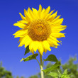 Sunflower on background sky — Stock Photo #11292378