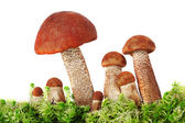 Mushrooms in moss on a white background — Stock Photo