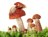Snail crawling on a group of mushrooms — Stock Photo