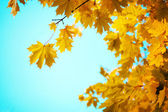 Branches of yellow autumn leaves — Stock Photo
