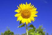 Sunflower on background sky — Stock Photo