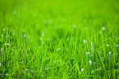 Green grass in the sunshine — Stock fotografie