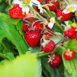 Bouquet of strawberries — Stok fotoğraf