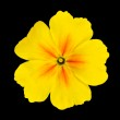 Yellow Primrose Flower Isolated on Black — Stock Photo