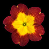 Primrose Flower Isolated - Red with Yellow Center — Stock Photo
