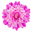 Pink Chrysanthemum Flower Isolated on White Background — Stock Photo #11003475