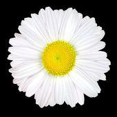 Fleur de Marguerite blanche isolée sur fond noir — Photo