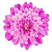 Pink Chrysanthemum Flower Isolated on White Background — Стоковое фото