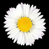 デイジーの花を黒の背景上に分離されて — ストック写真