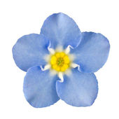 Forget-me-not Blue Flower Isolated on White — Stock Photo