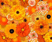 Orange Flower Background — Foto Stock