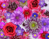Red, Pink, Purple Flower Background — Stock Photo