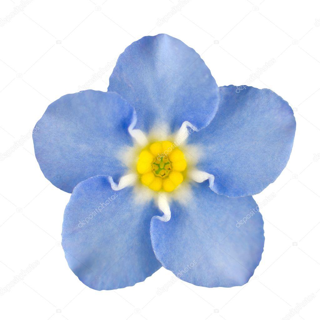 niezapominajka niebieski kwiat na bia ym tle na bia y. Black Bedroom Furniture Sets. Home Design Ideas