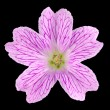 Pink Wildflower Isolated on Black — Stock Photo #11390749