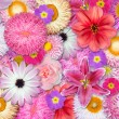 Flower Background Pink, Red, White Colors — Stock Photo #11390763