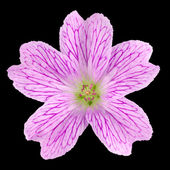 Pink Wildflower Isolated on Black — Stock Photo