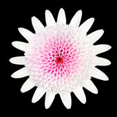Pink white Daisy Flower with white petals and large center — Stock Photo