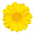 Beautiful Yellow Daisy Isolated on White — Stock Photo #11508436