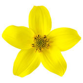 Yellow Wild Flower with Five Petals Isolated — Stock Photo