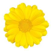 Schöne gelbe Gänseblümchen isoliert auf weiss — Stockfoto