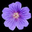 Beautiful Purple Geranium Flower with Isolated — Stock Photo #11742897